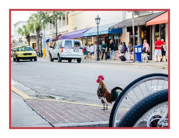 Crowing in Key West