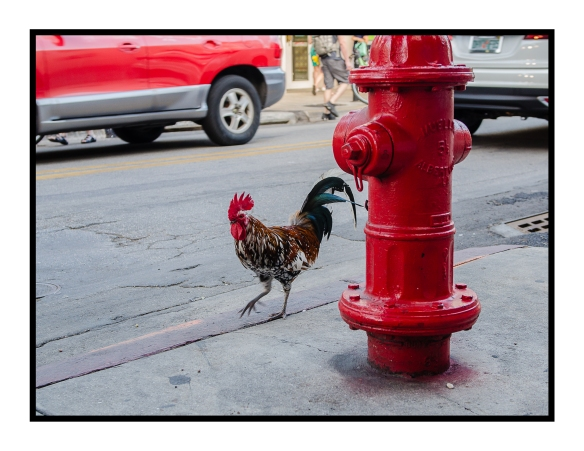Rooster Key West